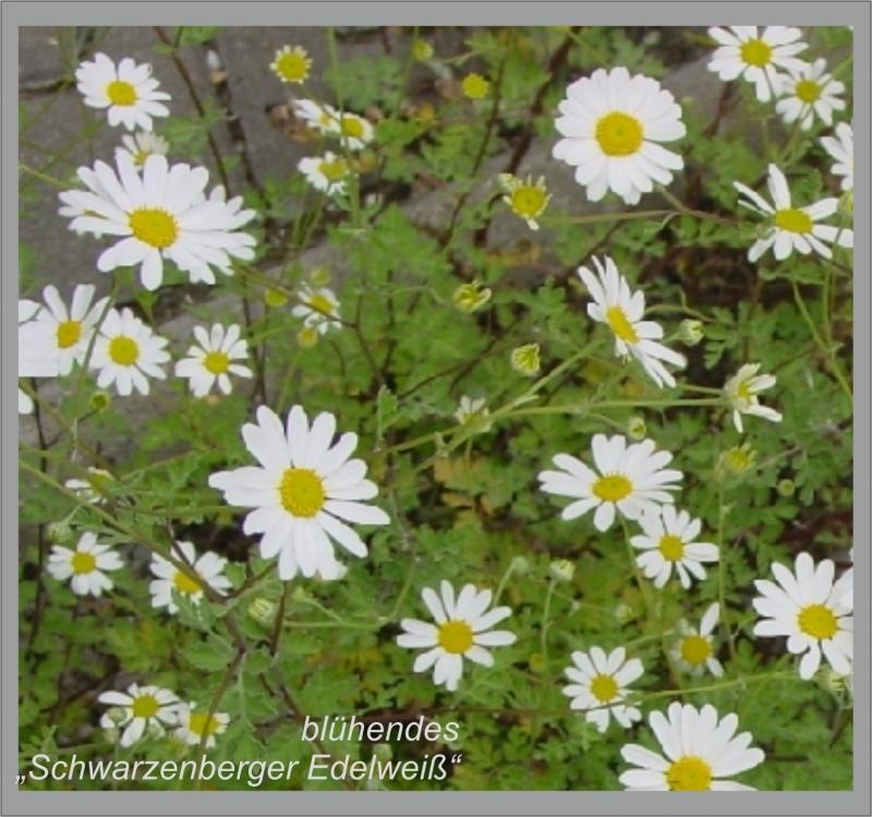 Kleinesbild - Ring☆ Blüte ☆ Schwarzenberger Edelweiß , kleines Gänseblümchen