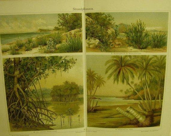 - von 1906 Farblithographie-   Strandpflanzen - von 1906 Farblithographie-   Strandpflanzen