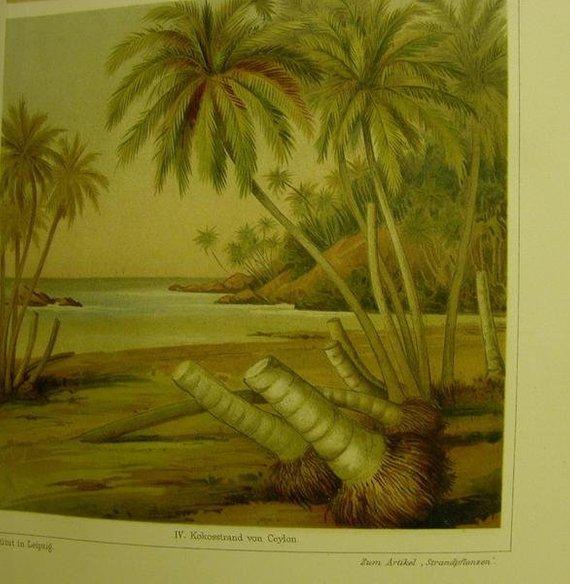 Kleinesbild - von 1906 Farblithographie-   Strandpflanzen