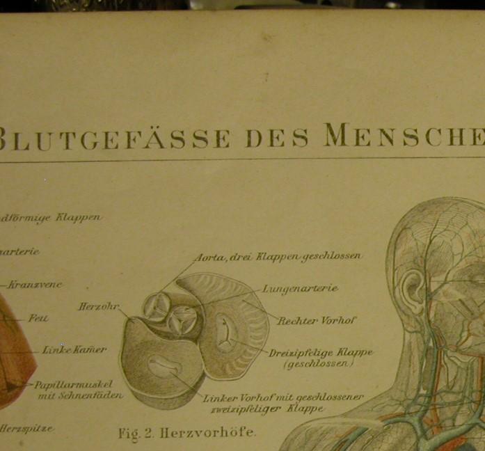 Kleinesbild - 1897 Original Farblithographie- Blutgefässe des Menschen