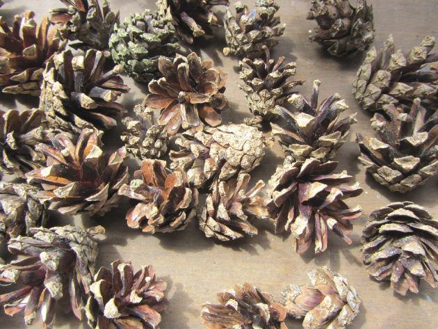 Kleinesbild - Kiefernzapfen Tannenzapfen 2 - 3 cm lang zum Basteln oder Einfärben kaufen