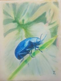 Himmelblauer Blattkäfer, realistische Farbstiftzeichnung auf Ingres Pastelpapier, Größe des Bildes 30 x 40 cm, zu kaufen
