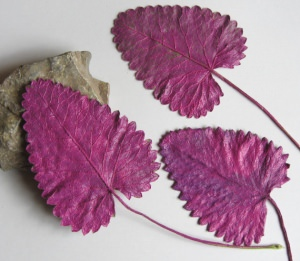 Pflanzenblätter einer Ziestpflanze beidseitig handgefärbt in Magenta bestellen