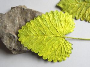 Pflanzenblätter einer Ziestpflanze beidseitig handgefärbt in Gelb bestellen