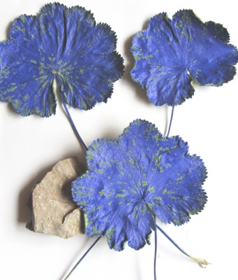Pflanzenblätter einer Frauenmantelpflanze handgefärbt in Blau bestellen