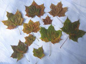 Ahornblätter gesammelt getrocknet gepresst zum Basteln oder Dekorieren kaufen