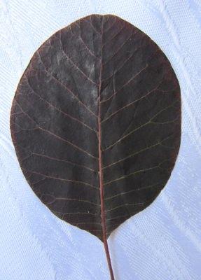 Blätter eines Perückenstrauchs gepresst bestellen
