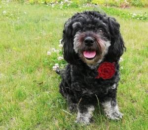 Häkelanleitung Fliege oder Rose am Band für Deinen Hund ♥ - Handarbeit kaufen