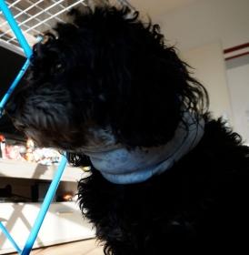Hundeloop Hellblau / Hundeschal / genäht Hunde/ Sterne Schlauchschal / Snood ♡ 35cm-38cm ♡ amigoll9 ♡ Handarbeit  - Handarbeit kaufen