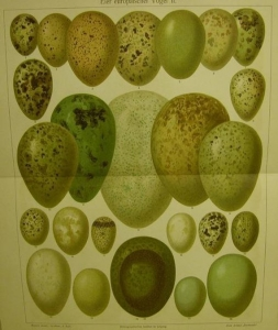 1906 Farblithographie- Eier europäischer Vögel II. - Handarbeit kaufen