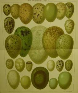 1906 Farblithographie- Eier europäischer Vögel II.