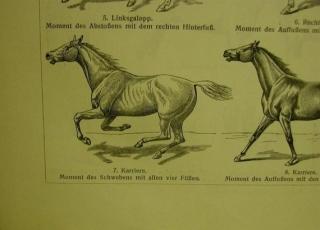 Original sw Holzstich 1906 - Pferde IV.