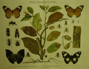 1906 Farblithographie- Mimikry  bei Insekten