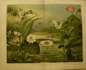 1897 Original Farblithographie- Wasserpflanzen - Handarbeit kaufen