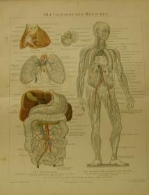 1897 Original Farblithographie- Blutgefässe des Menschen
