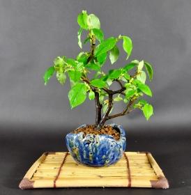 Bonsai Chinesische Scheinquitte (Chaenomelis sin.)