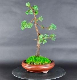 Bonsai Chin. Wacholder (Juniperus chinensis blaauw)
