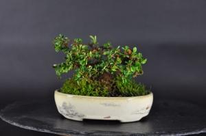 Bonsai Felsen Mispel (Cotoneaster damerei)