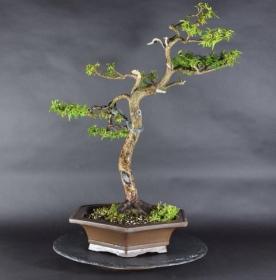 Bonsai Gemeine Eibe (Taxus baccata)