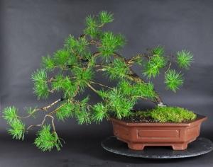 Bonsai Gemeine Kiefer Pinus (sylvestris)