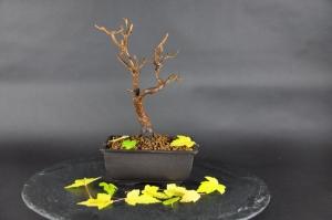 Pre-Bonsai Feuerahorn (Acer ginnala)