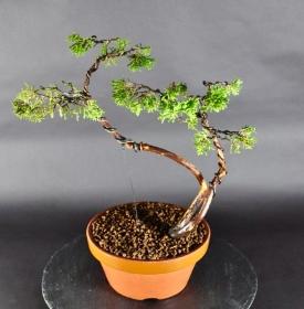 Pre-Bonsai Chin. Wacholder (Juniperus chinensis)
