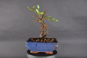 Bonsai Chinesische Ulme (Ulmus parvifolia)